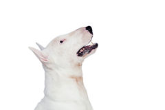Beautiful bullterrier Stock Images