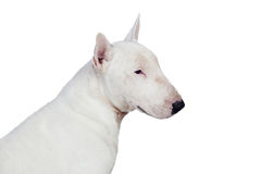 Beautiful bullterrier Stock Photo