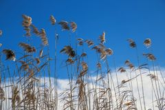 Beautiful bulrushes against the blue sky Stock Images
