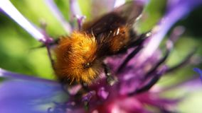 Beautiful bumble bee on flower macro photo. Beautiful bumble bee on summer flower macro photo royalty free stock photo