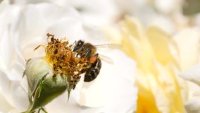Beautiful Bumble-Bee Pollinating White Rose Flower in Summer Garden. 4K Slowmotion Closeup. Beautiful Bumble-Bee Pollinating White Rose Flower in Summer Garden stock video