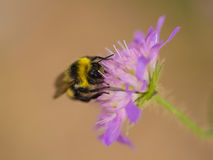 A beautiful bumblebee gathering honey from a purple summer flower. Stock Images