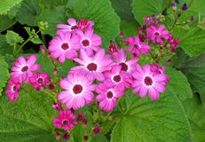 Beautiful bunch of cineraria flowers Stock Photography