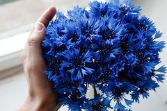 Beautiful bunch of cornflowers in hand on wooden white window si