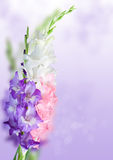 Beautiful bunch of gladioli. Stock Images