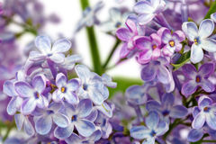 Beautiful Bunch of Lilac Royalty Free Stock Image