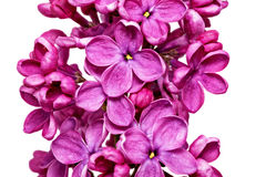 Beautiful Bunch of Lilac Royalty Free Stock Photography