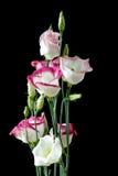Beautiful Bunch Of Lisianthus Flowers On Black Stock Image