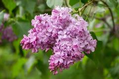 Beautiful bunch of pink lilac closeup. Royalty Free Stock Image
