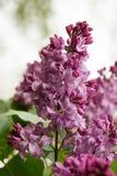 Beautiful bunch of pink lilac closeup. Stock Photography