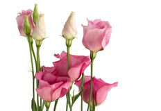 Beautiful bunch of pink lisianthus flowers Royalty Free Stock Photos