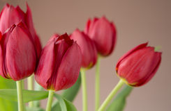 Beautiful bunch of red tulips Stock Photo