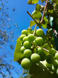 Beautiful bunch of tasty green grapes Stock Photography