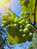 Beautiful bunch of tasty green grapes Royalty Free Stock Photo