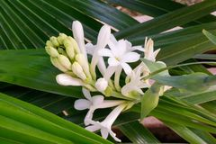 Beautiful bunch of tuberose flower and buds covered with green leaves bac royalty free stock image