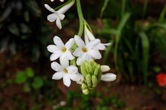 Beautiful bunch of tuberose flower covered with green leaves background stock images