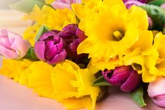 Beautiful Bunch of Tulips and yellow Daffodils on the Pink Backg royalty free stock photo