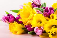 Beautiful Bunch of Tulips and yellow Daffodils on the Pink Backg royalty free stock image