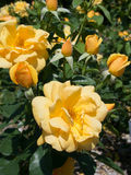 Beautiful Bunch of Yellow Roses. In a park in Central Ohio Stock Image