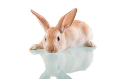 Beautiful bunny lying opposite Royalty Free Stock Photography