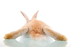 Beautiful bunny lying seen from back Royalty Free Stock Photos