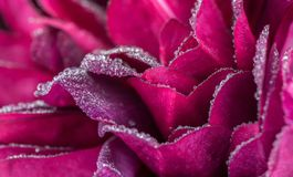 Burgundy Rose Petals background stock photos