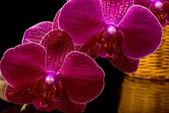 Beautiful burgundy orchid Royalty Free Stock Photos