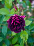 Beautiful burgundy purple rose in the garden royalty free stock image