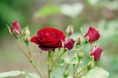 Beautiful burgundy red rose flower green leaves. Summer time blooming garden floral landscape. Soft bokeh photo Stock Photos