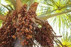The Beautiful Buriti Tree full of fruits. royalty free stock photo