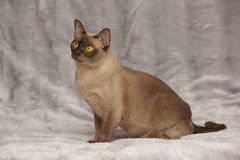 Beautiful Burmese cat in front of silver blanket Royalty Free Stock Photos