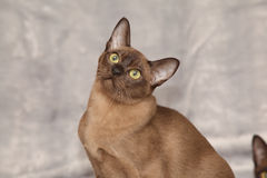 Beautiful Burmese cat in front of silver blanket Stock Image
