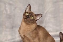 Beautiful Burmese cat in front of silver blanket