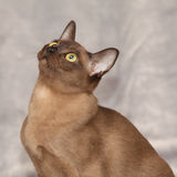 Beautiful Burmese cat in front of silver blanket Royalty Free Stock Photo