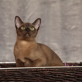 Beautiful Burmese cat in front of silver blanket Stock Photo