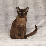 Beautiful Burmese cat in front of silver blanket Royalty Free Stock Photography