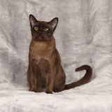 Beautiful Burmese cat in front of silver blanket Royalty Free Stock Image