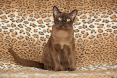 Beautiful Burmese cat in front of some blanket Stock Photography