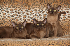 Beautiful Burmese cats in front of nice blanket Royalty Free Stock Photos