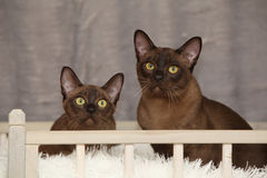 Beautiful Burmese cats in front of silver blanket Royalty Free Stock Image