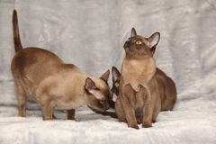 Beautiful Burmese cats in front of silver blanket Royalty Free Stock Photo