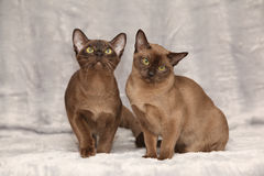 Beautiful Burmese cats in front of silver blanket Stock Images