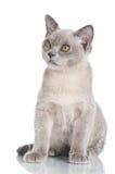 Beautiful burmese kitten Royalty Free Stock Photo