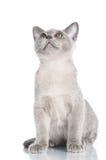 Beautiful burmese kitten Royalty Free Stock Photography