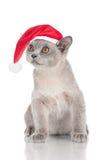 Beautiful burmese kitten in a santa hat Stock Images