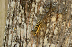 Burmeses Striped Squirrel (Tamiops mcclellandi) Stock Images