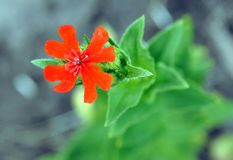 Beautiful burning love. Lychnis chalcedonica red flower Royalty Free Stock Photo