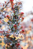 Beautiful bush Barberry Tunberg `Carmen`. On a gray background Stock Photography