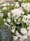 Beautiful bush of bunches of white flower heads in spring light. With some small blue flower heads stock images