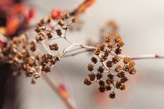 Beautiful bush with dried flowers. Macro nature plant, sunny day in the park. Shallow depth of field, selective focus. Beautiful bush with dried flowers. Macro royalty free stock photo